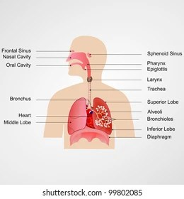 respiratory system blank diagram to label 120v 12v transformer wiring human images stock photos vectors shutterstock vector illustration of with