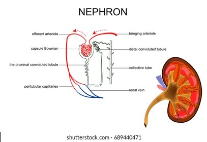 kidney nephron structure diagram acupressure to induce labor images stock photos vectors shutterstock vector illustration of the and