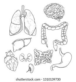 human internal organ Images, Stock Photos & Vectors