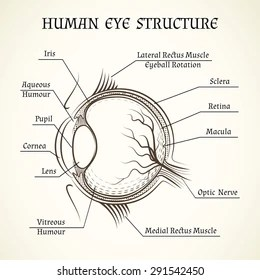 structure of human eye with diagram nissan 350z audio wiring anatomy images stock photos vectors shutterstock vector the and medicine iris pupil lens
