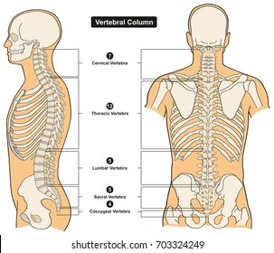 vertebrae diagram blank skeletal system without labels vertebral column images stock photos vectors shutterstock of human body anatomy infograpic including all vertebra cervical thoracic lumbar sacral and