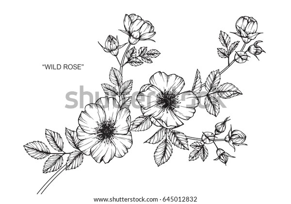 wild rose flowers drawing