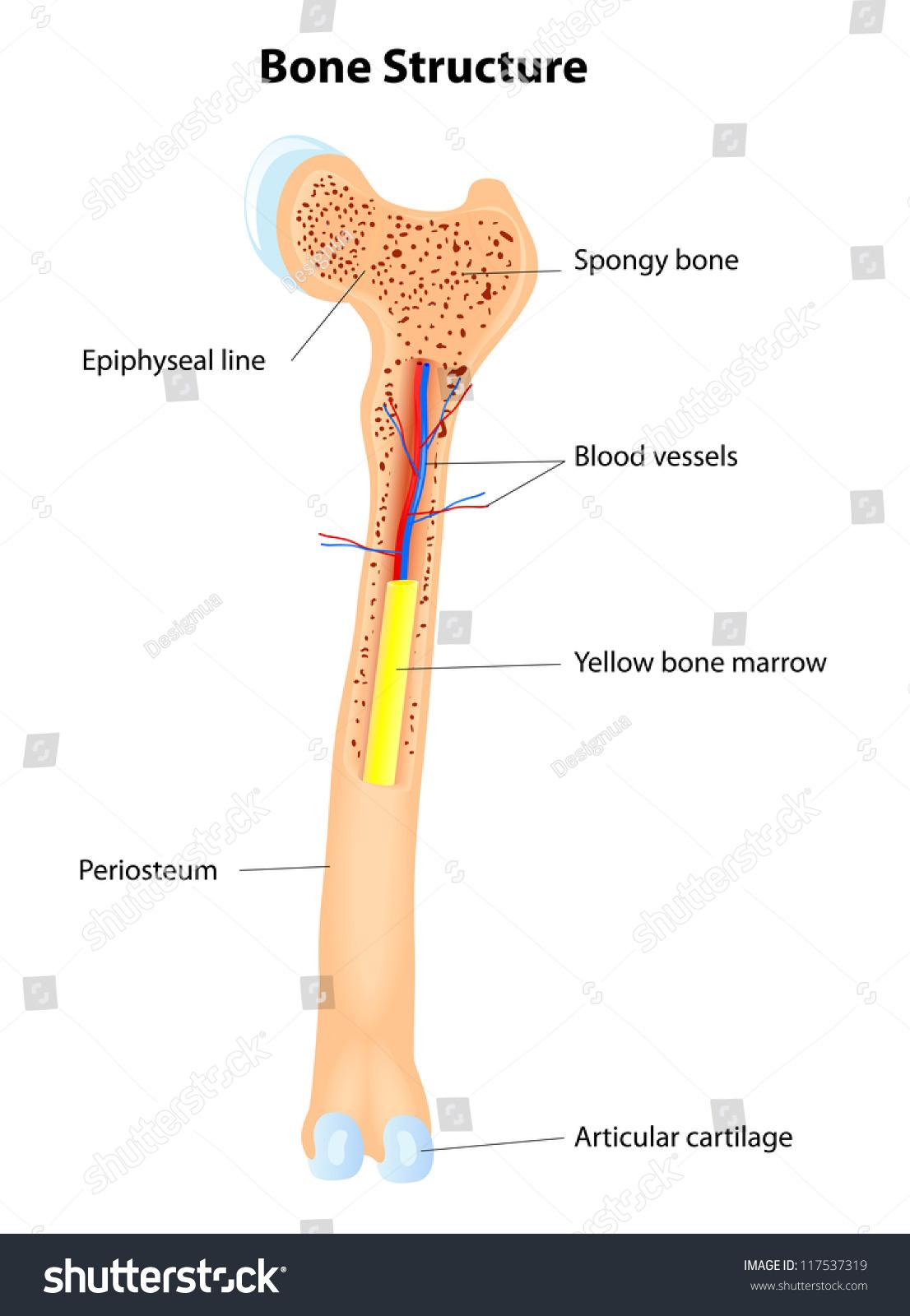 hight resolution of long bone anatomy vector scheme
