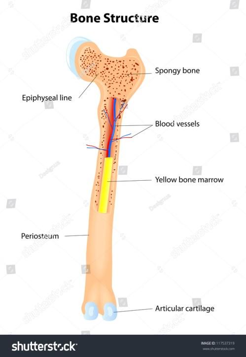 small resolution of long bone anatomy vector scheme