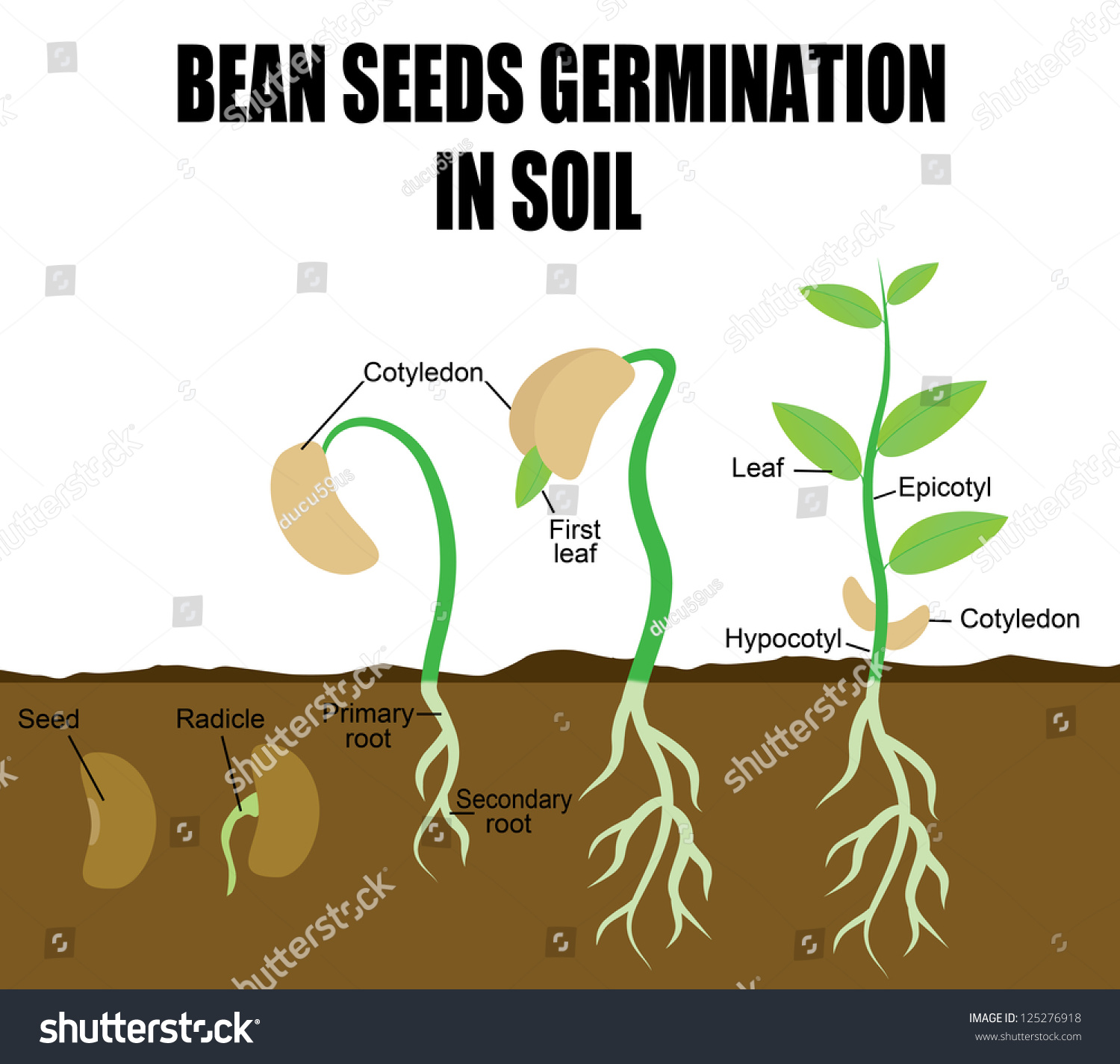 Sequence Of Bean Seeds Germination In Stock Photo
