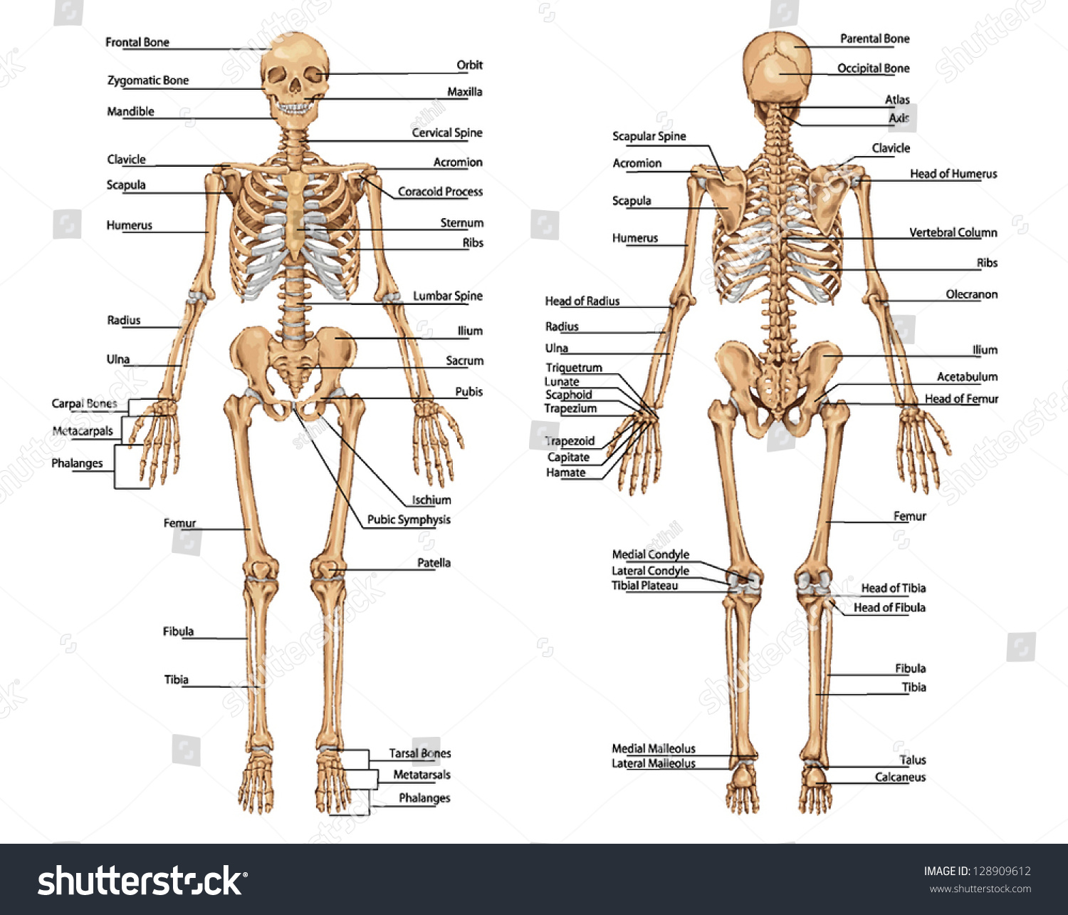 Royalty Free Human Skeleton From The Posterior And