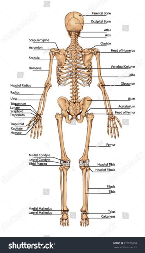 small resolution of human skeleton from the posterior view didactic board of anatomy of human bony system