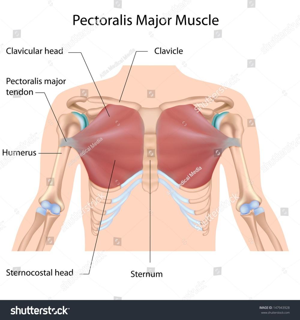 medium resolution of pectoralis diagram maj wiring diagram query pectoralis diagram maj wiring diagram log pectoralis diagram maj