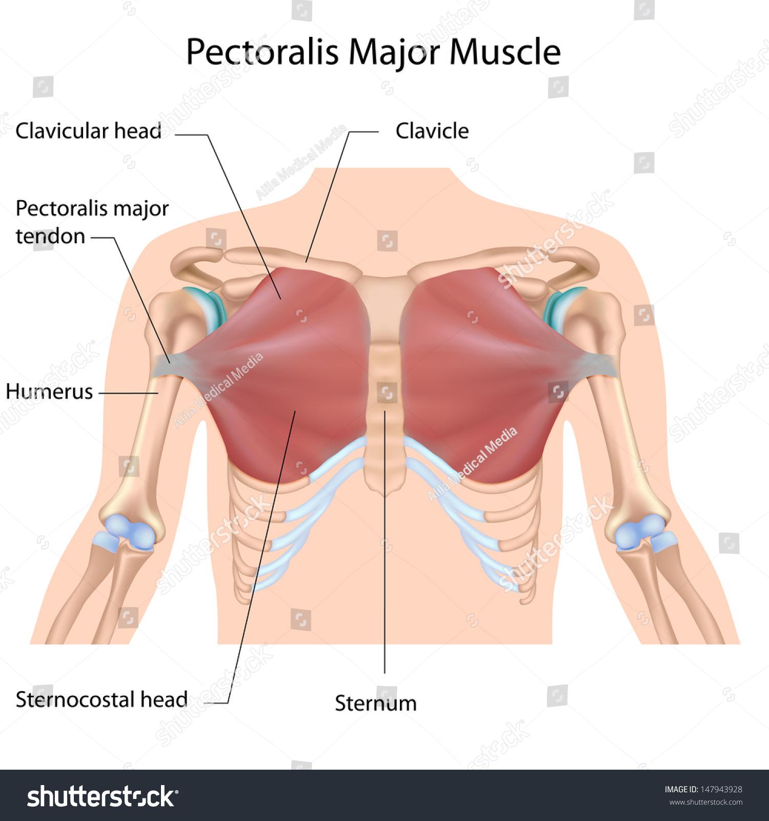 hight resolution of pectoralis diagram maj wiring diagram query pectoralis diagram maj wiring diagram log pectoralis diagram maj