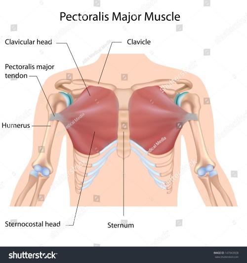 small resolution of pectoralis diagram maj wiring diagram query pectoralis diagram maj wiring diagram log pectoralis diagram maj