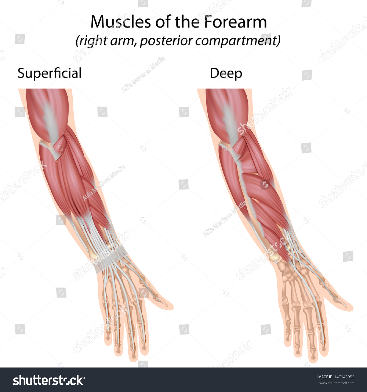 Forearm Muscles Dorsal Compartment Stock Photo