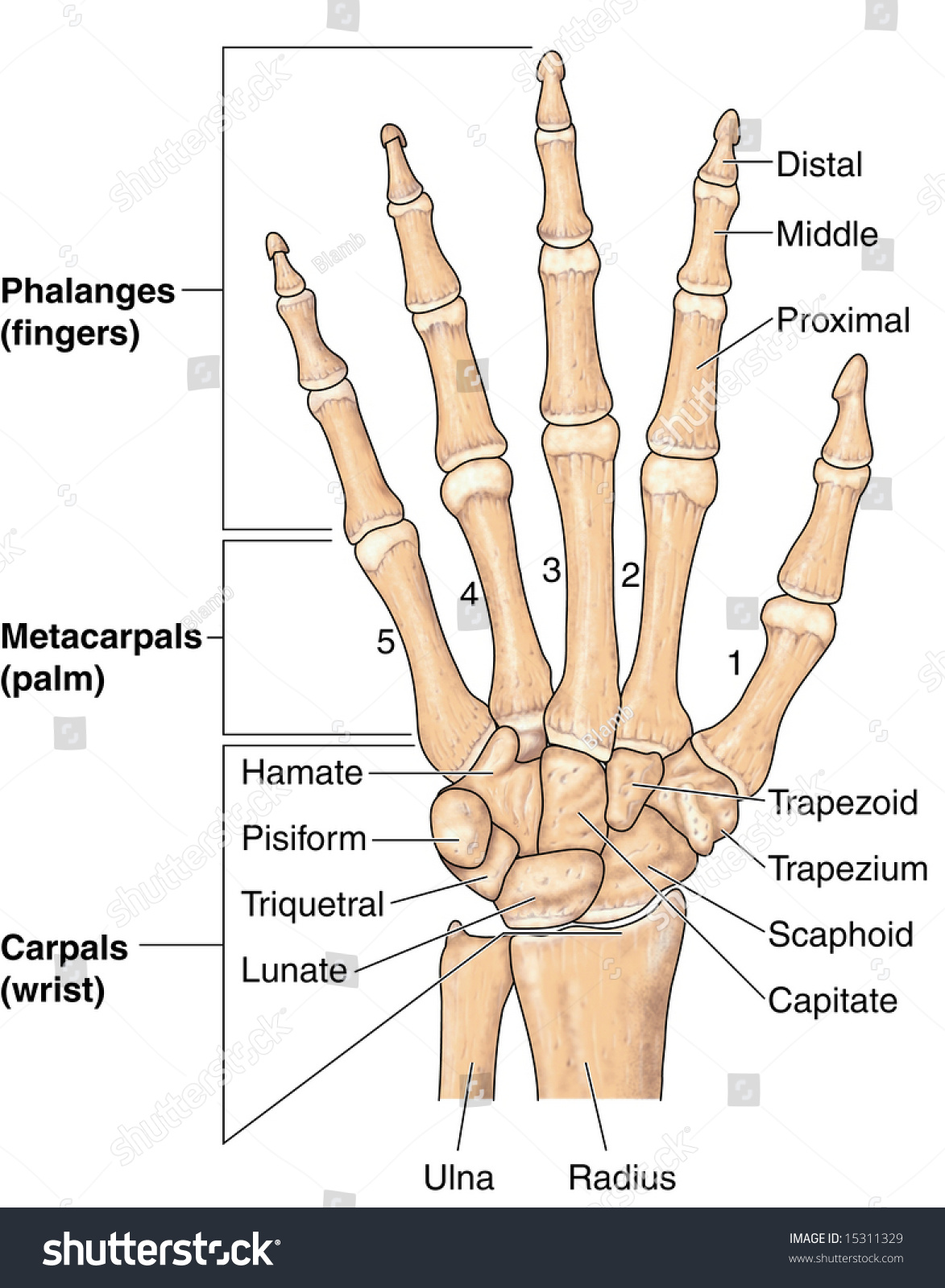 Human Hand Bones Labeled Stock Photo
