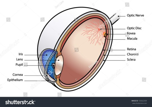 small resolution of human eye cross section with labels 155022359