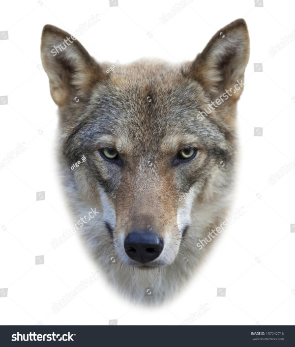 Face Of Grey Wolf Female Isolated Stock