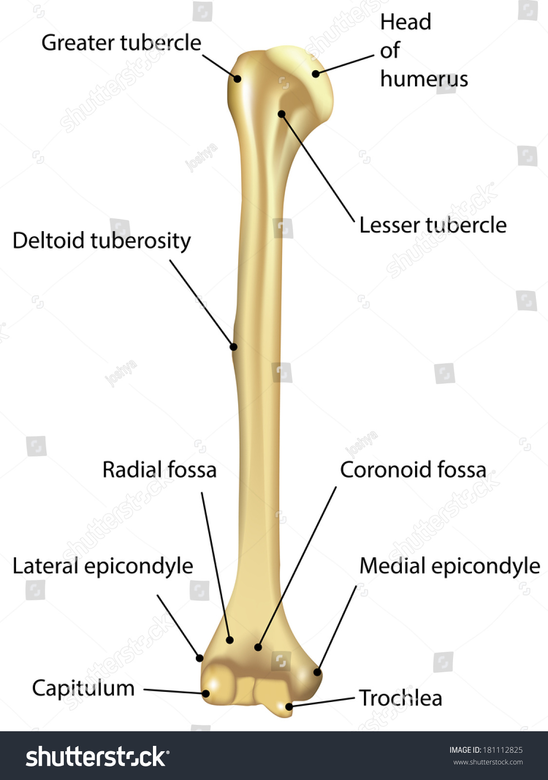 Royalty Free Humerus Labeled Diagram Stock