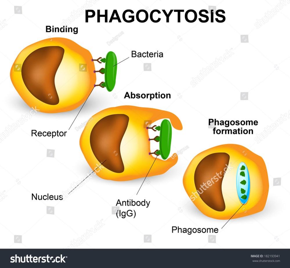 medium resolution of phagocytosis in three steps human immune system vector diagram