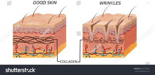 small resolution of skin anatomy diagram younger and older skin comparation good skin and skin with wrinkles