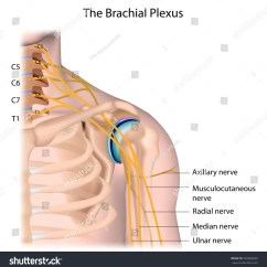 Radial Nerve Diagram Ford Wiring For Radio Royalty Free Nerves Of The Brachial Plexus Labeled