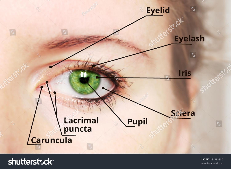 hight resolution of human eye anatomy diagram medical description green eye 231982330