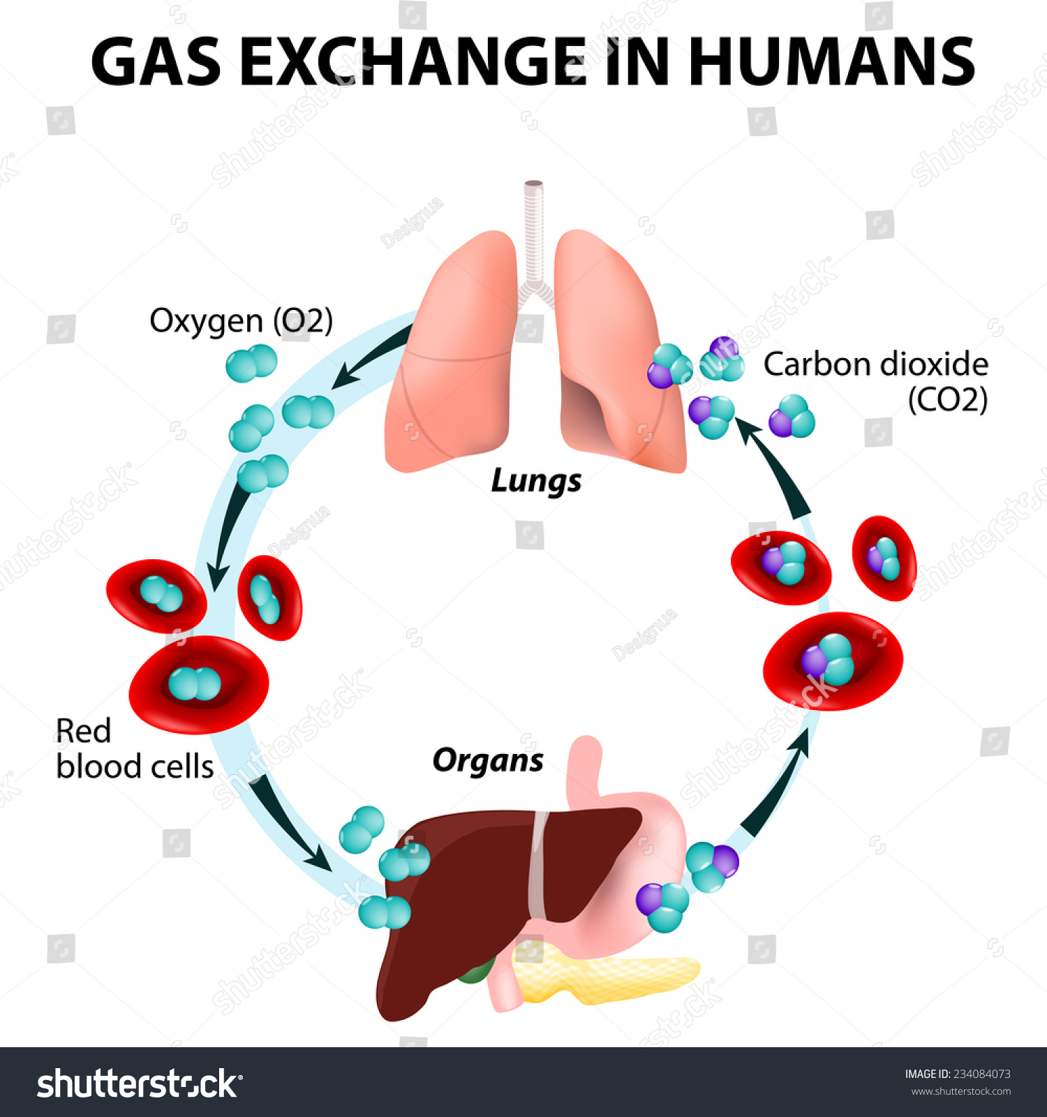 hight resolution of gas exchange in humans path of red blood cells oxygen transport cycle both oxygen and carbon dioxide are transported around the body in the blood from