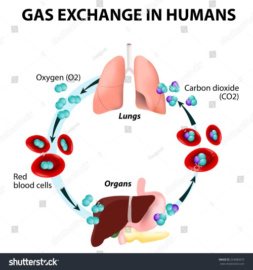 small resolution of gas exchange in humans path of red blood cells oxygen transport cycle both oxygen and carbon dioxide are transported around the body in the blood from