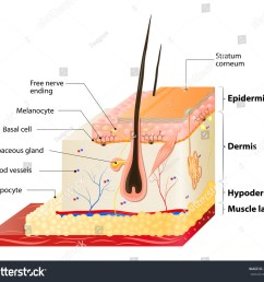 layers of human skin epidermis horny stock photo 266575709 tissue engineering skin tissue layer diagram [ 1500 x 1320 Pixel ]