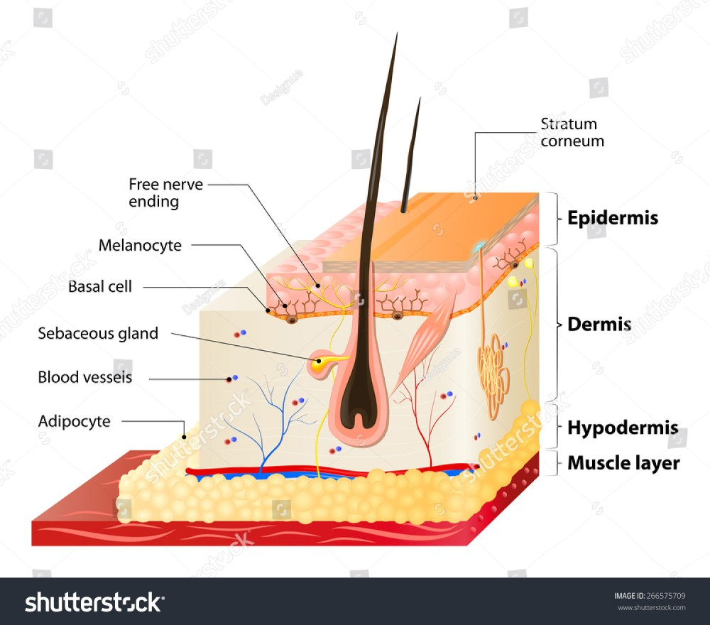 medium resolution of layers of human skin epidermis horny stock photo 266575709 tissue engineering skin tissue layer diagram