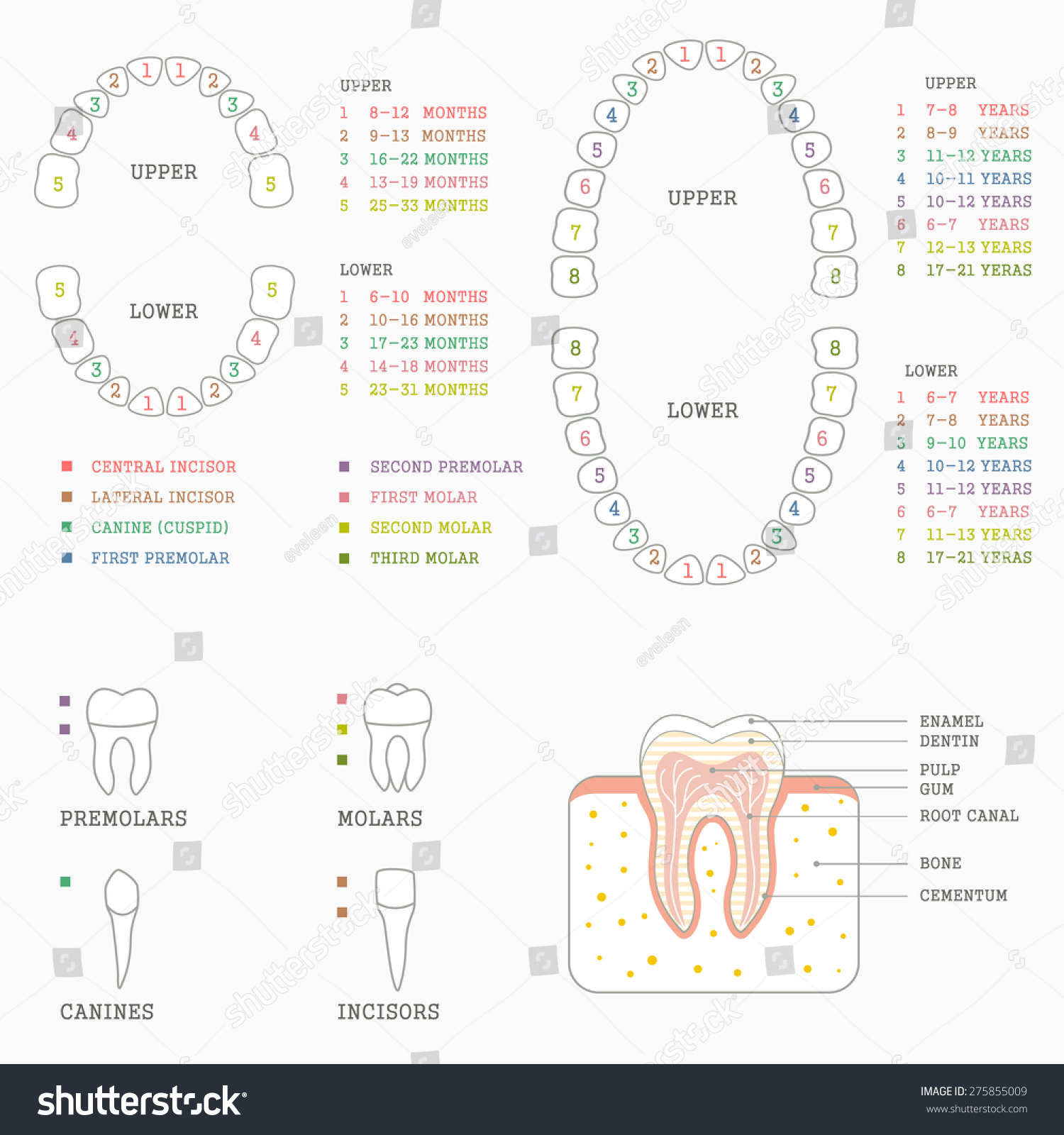 adult tooth diagram 12 volt boat wiring royalty free human anatomy chart