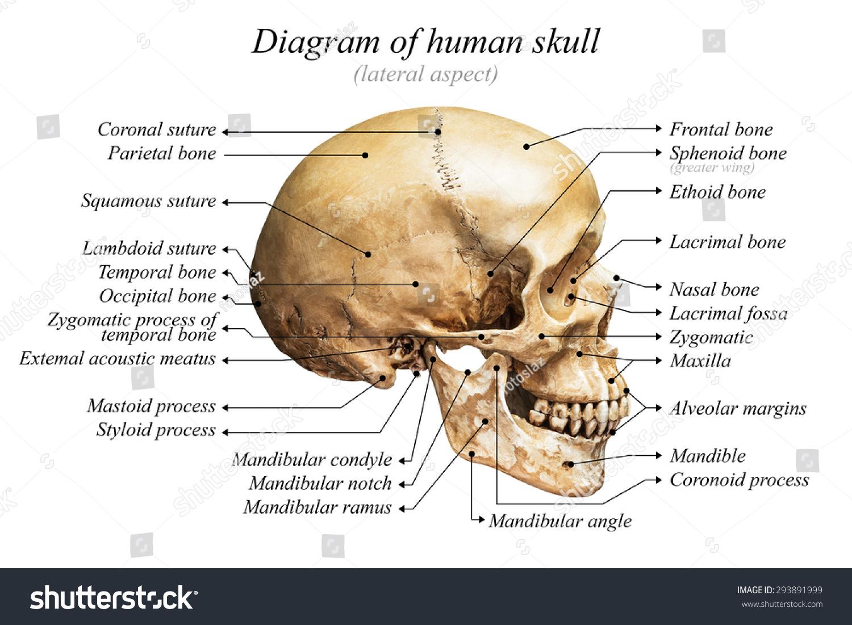 human skull landmarks diagram 1979 corvette headlight wiring royalty free lateral aspect of