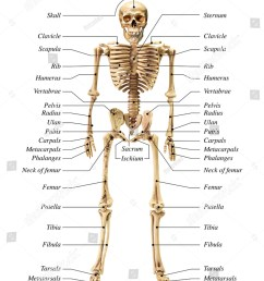human skeleton diagram in anterior view on white background for basic medical education [ 1091 x 1600 Pixel ]