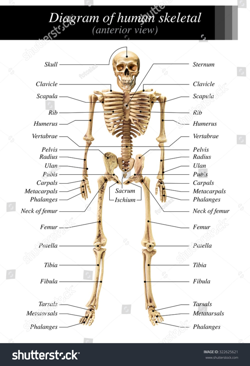 medium resolution of human skeleton diagram in anterior view on white background for basic medical education