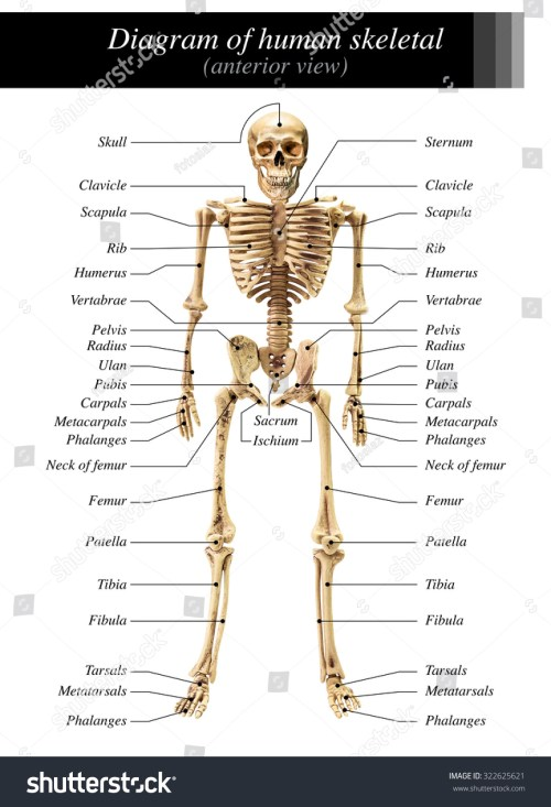 small resolution of human skeleton diagram in anterior view on white background for basic medical education