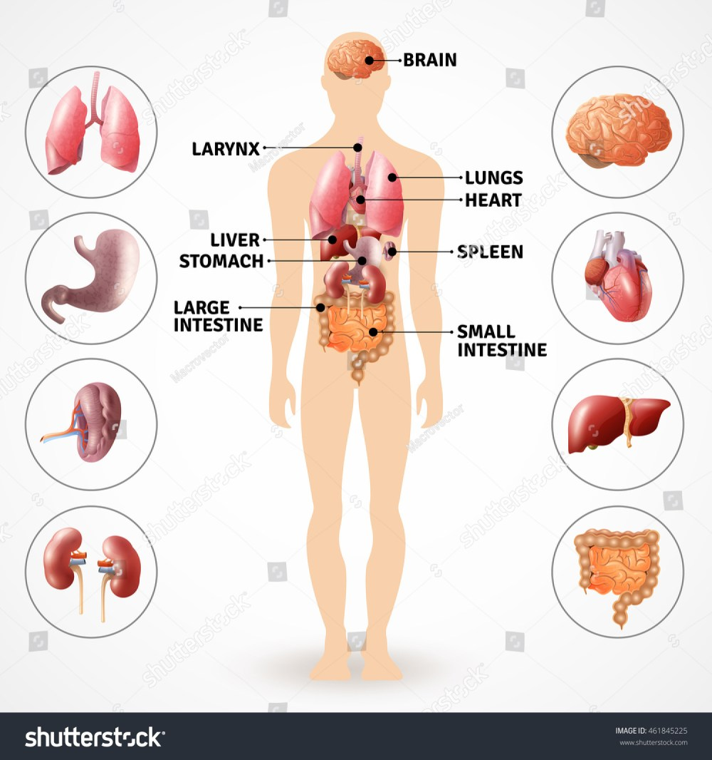 medium resolution of medical poster depicting human anatomy internal organs on light background flat vector illustration 461845225