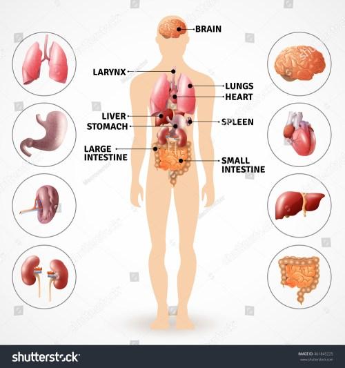 small resolution of medical poster depicting human anatomy internal organs on light background flat vector illustration 461845225