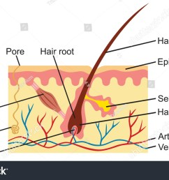 hair and human skin anatomy illustration stock photo 583251655hair and human skin anatomy illustration 583251655 [ 1500 x 945 Pixel ]