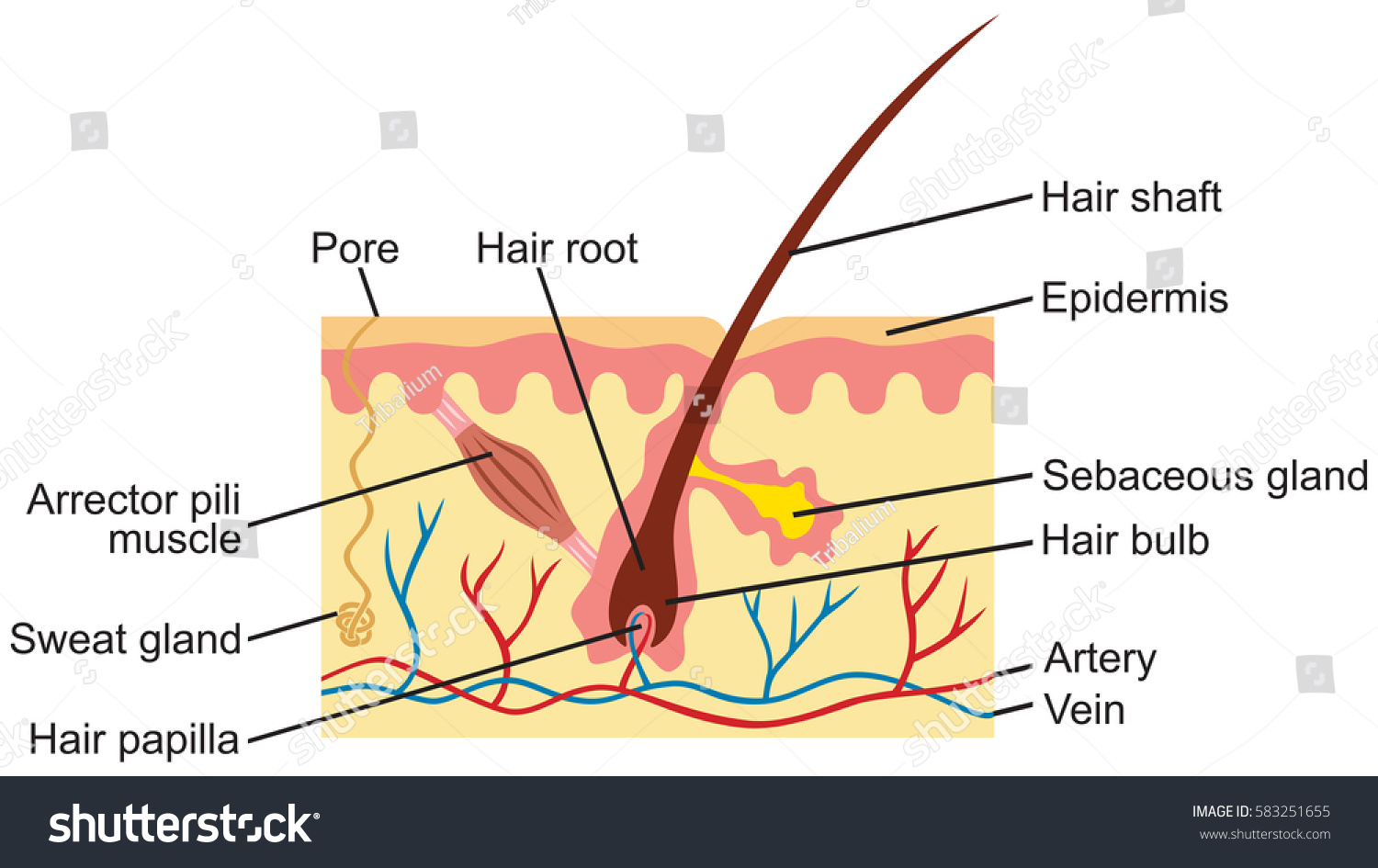 hight resolution of hair and human skin anatomy illustration stock photo 583251655hair and human skin anatomy illustration 583251655