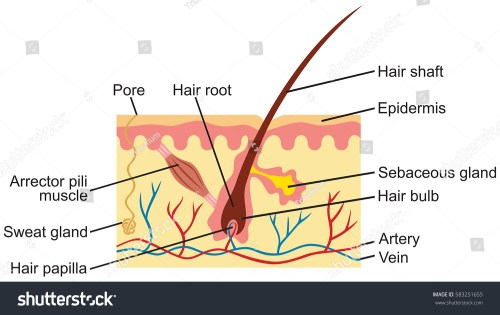 small resolution of hair and human skin anatomy illustration stock photo 583251655hair and human skin anatomy illustration 583251655