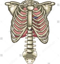human anatomy torso skeleton isolated white background 68160277 [ 1059 x 1600 Pixel ]