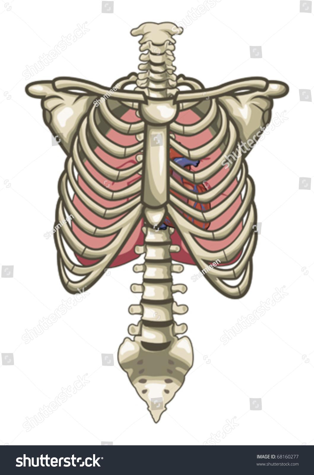 hight resolution of human anatomy torso skeleton isolated white background 68160277