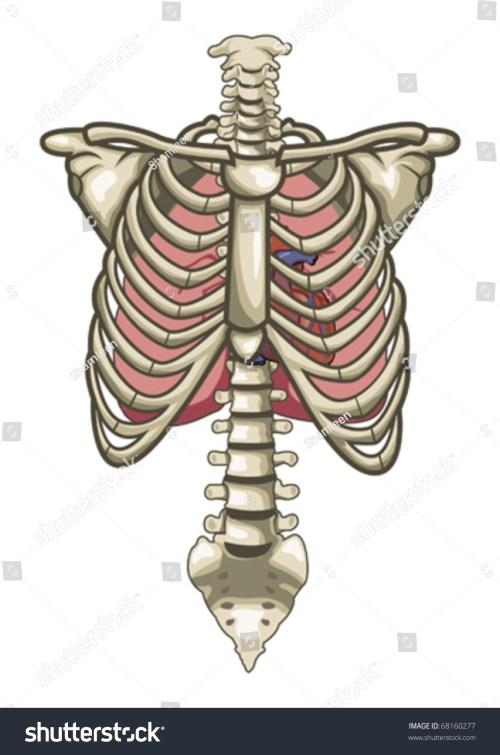 small resolution of human anatomy torso skeleton isolated white background 68160277