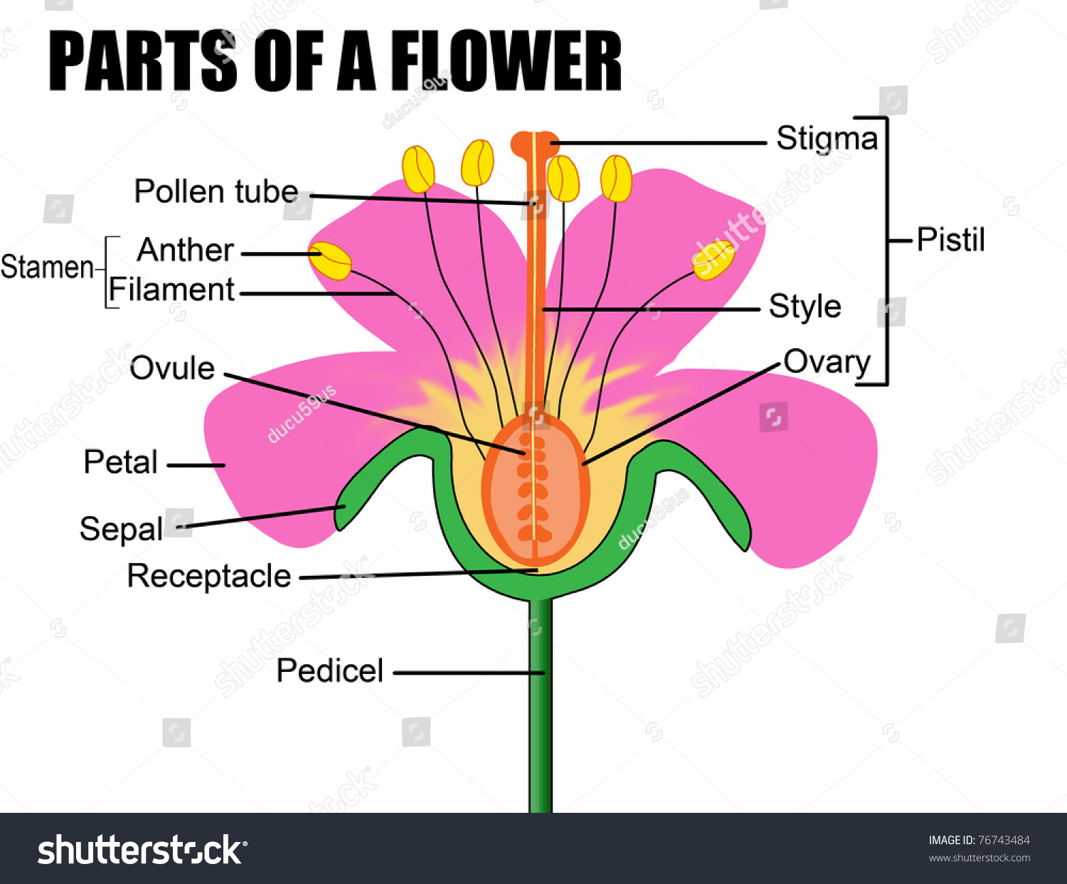 Parts Of A Flower Vector Illustration Stock Photo