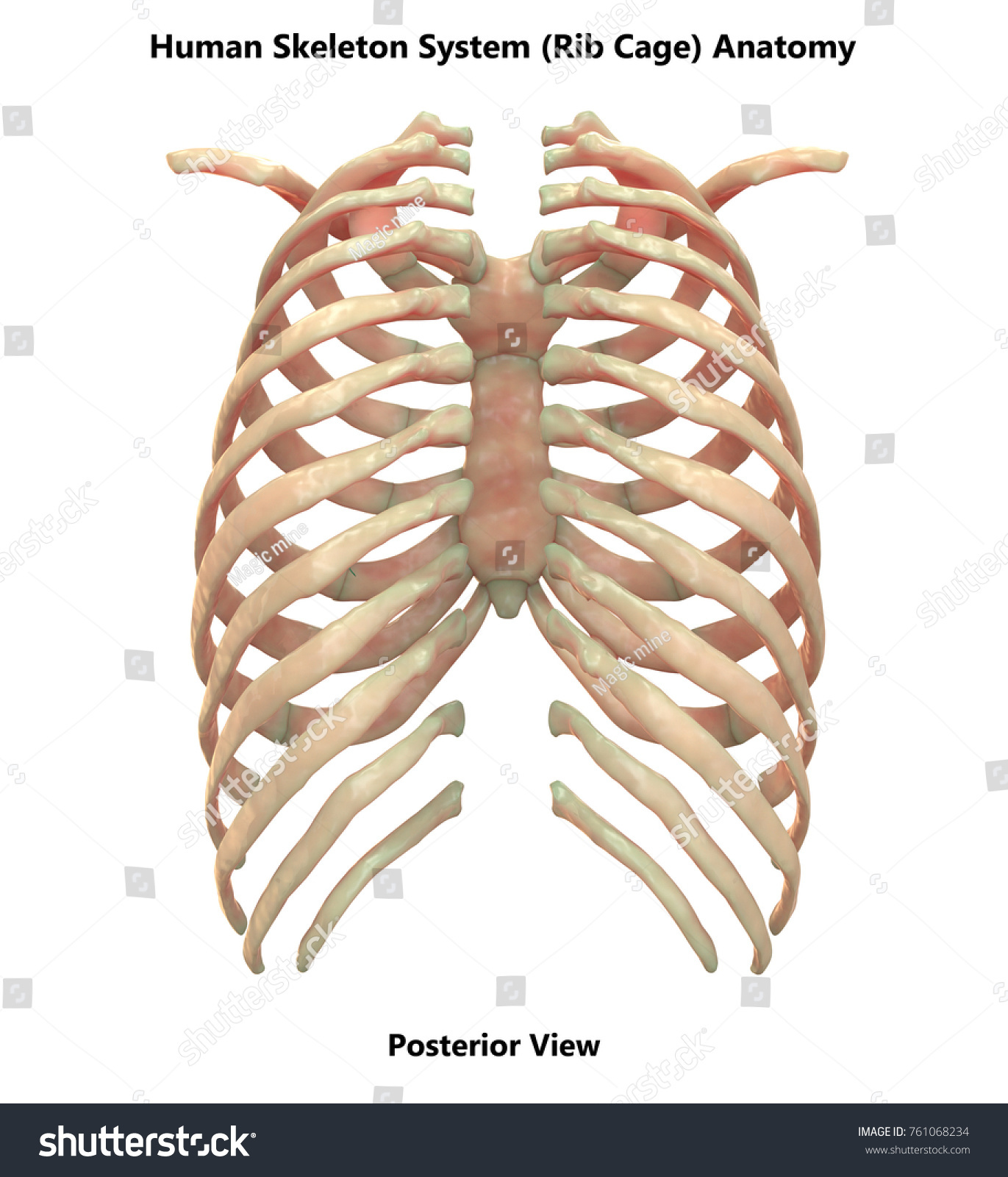 rib numbers diagram ez wiring list of synonyms and antonyms the word human ribs