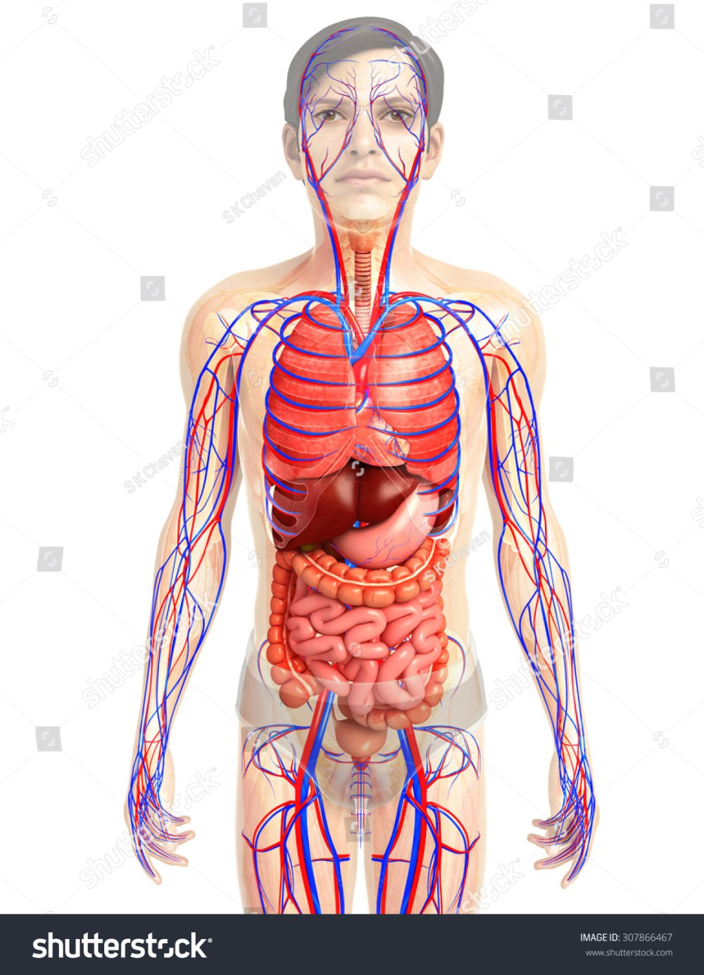 medium resolution of 3d rendered illustration of male digestive system illustration