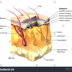Dermis Layer Diagram Cat Muscle Anatomy 3d Skin Oblique Cut Away Epidermis Stock Illustration