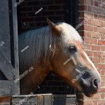 Percheron Breed Draft Horse That Originated Stock Photo Edit Now 1008379222