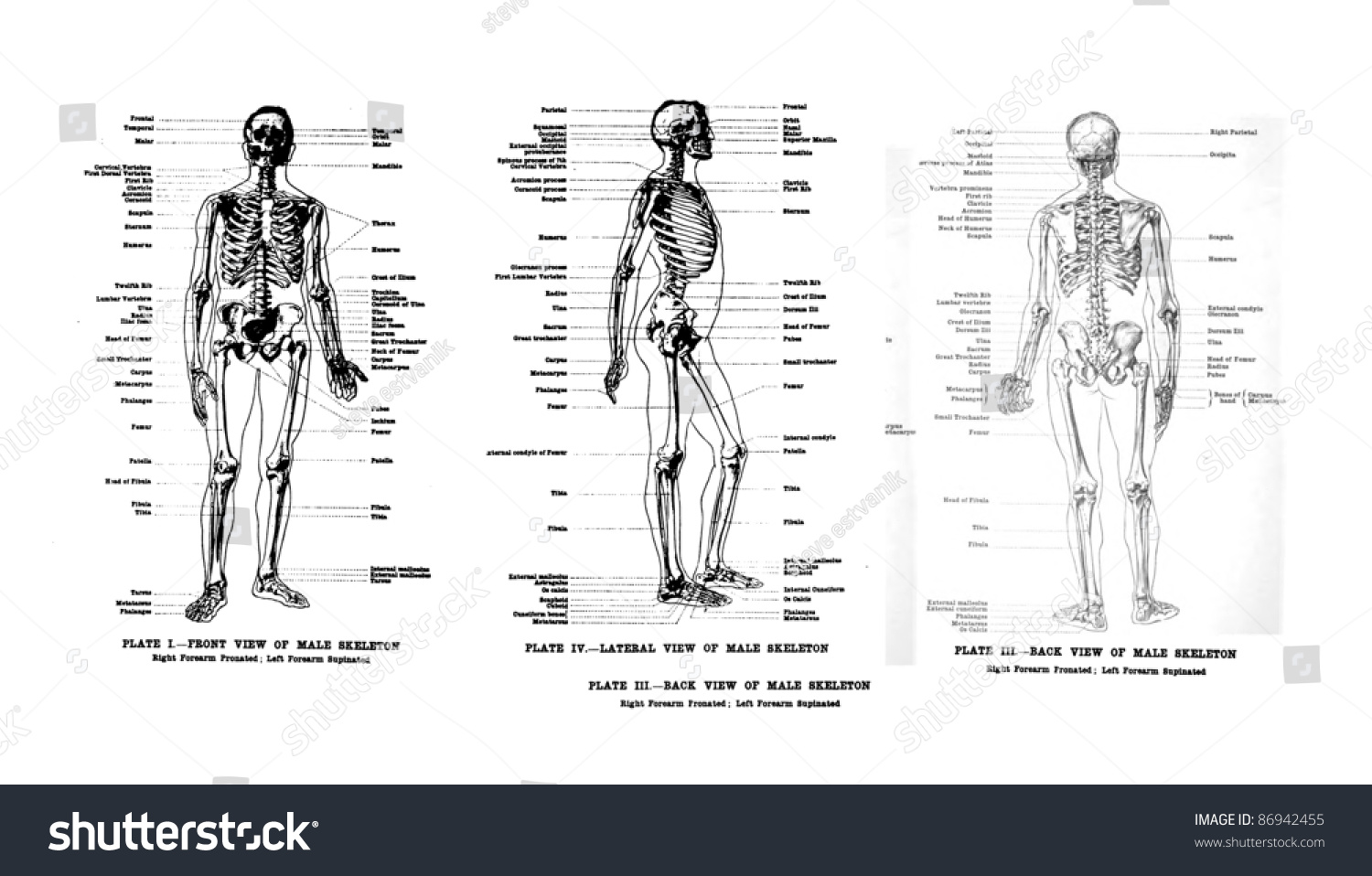 3 Views Of The Human Skeleton Full Frontal Lateral And