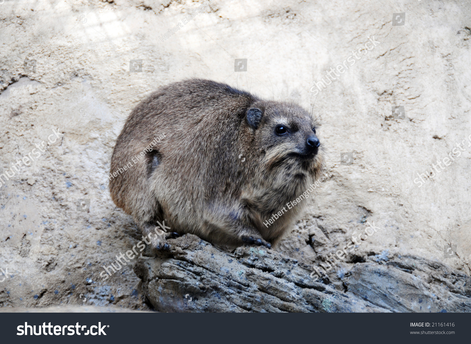 A Large Rodent Nutria In South Africa Stock Photo 21161416 : Shutterstock