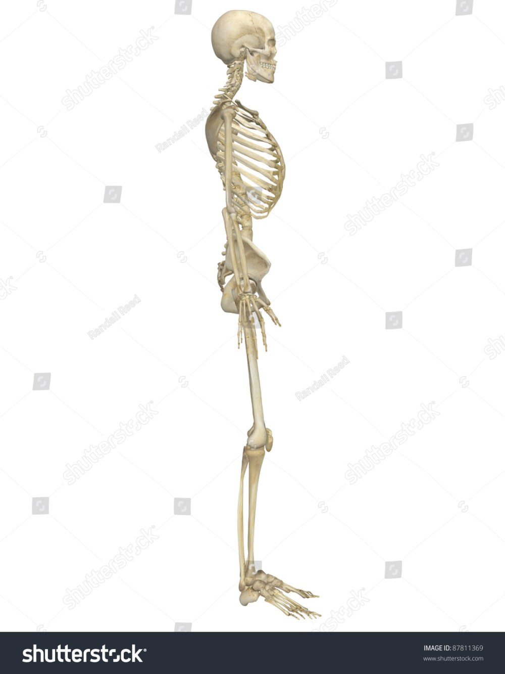 medium resolution of a side view illustration of the human skeletal anatomy very educational and detailed