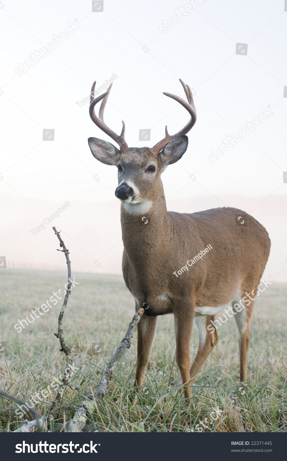 A Whitetail Buck Standing In An Open Meadow In Tennessee On A Foggy Morning Stock Photo 22371445 : Shutterstock