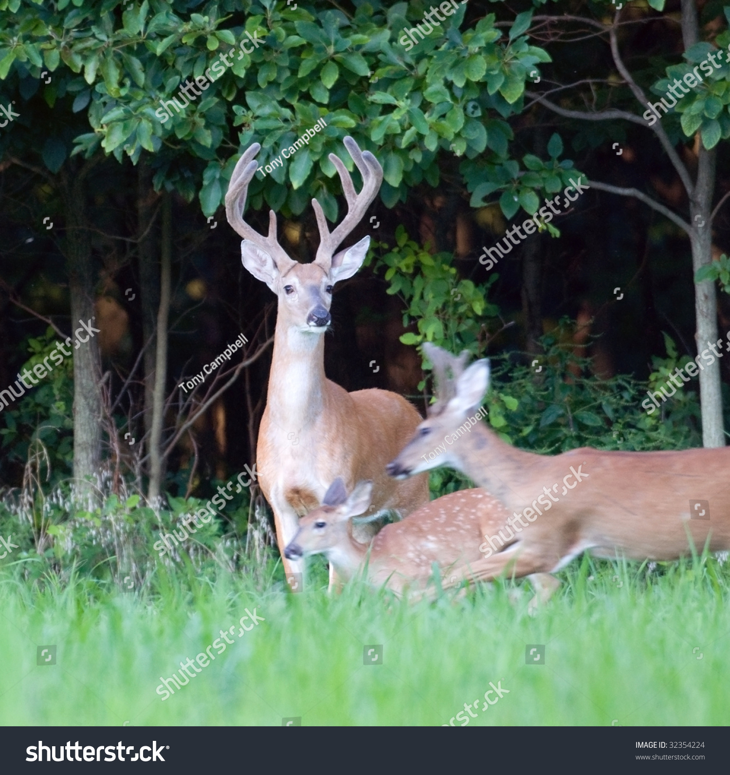 A Whitetail Deer Buck Stands Still While Does And Fawns Flee. Motion Blur In Running Animals. Stock Photo 32354224 : Shutterstock